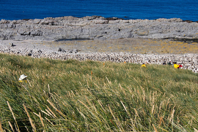 Walking though the tussock grass to get close to the albatross colony.