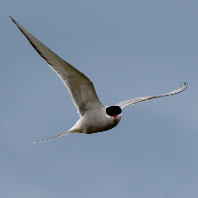 Arctic tern coming to persuade intruder to go away, Flatey Island, Iceland
