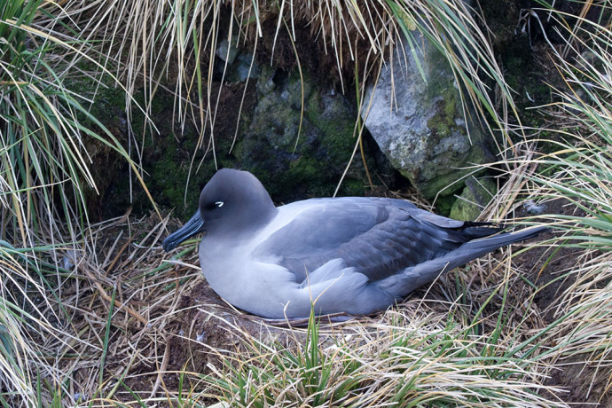 Light-mantled sooty albatross (Phoebetria palpebrata), Elsehul, South Georgia