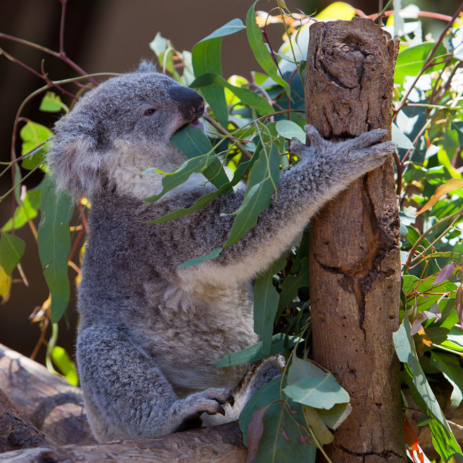 Koala having lunch