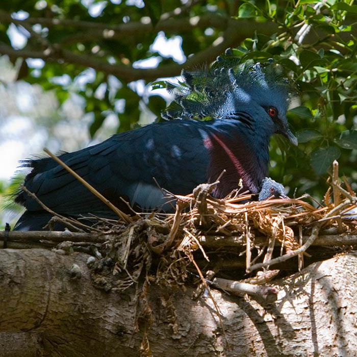 Victoria Crowned Pigeon and Junior